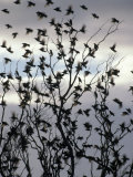 Migrating Common Starling Flock at Sunset Take Flight  Australia