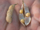 Man Holds Soybean Seeds in his Hands