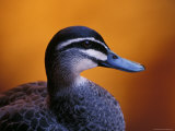 Pacific Black Duck Portrait against a Background of an Orange Sunset  Australia