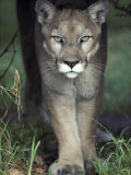 Mesmerising Glare of a Stalking Puma Hunting Prey  Australia
