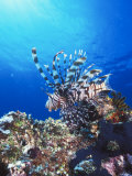 Lion Fish  Scorpionfish in Blue Water over Reef  Pterois Volitans  Solomon Islands
