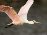Roseate Spoonbill in Flight  Tampa Bay  Florida