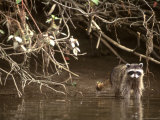 Racoon Walks into Creek for a Drink of Water