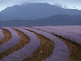 Rows of Lavender Flowers Await Harvest from Tasmania's Rich Soils  Australia