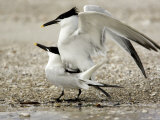 Pair of Sandwich Tern Copulate on a Beach