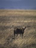 Lone Cheetah Surveys the Vast Grasslands of the Serengetti for Prey  Tanzania