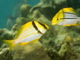 Porkfish in Adult and Juvenile Coloration  Belize