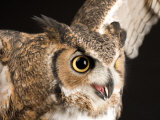 Portrait of a Great Horned Owl  Lincoln  Nebraska