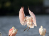 Roseate Spoonbill Comes in for a Landing  Tampa Bay  Florida