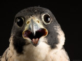 Portrait of a Peregrine Falcon  Lincoln  Nebraska