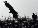 Nubian Vulture Launches from an Acacia Tree at Sunset