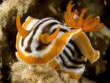 Nudibranch Crawls over the Reef  Malapascua Island  Philippines