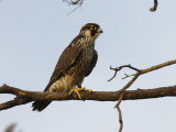 Peregrine Falcon Perches in a Tree  Bombay Hook  Delaware