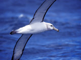 Majestic Vulnerable Shy Albatross in Flight over a Blue Ocean  Australia