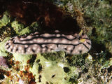 Nudibranch Sea Slug Phyllidia Sp  Lau islands  Fiji