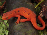 Red Eft Crawls on the Forest Floor
