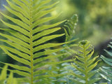 Lime Green New Growth Fern Fronds Lit Up by Sunrays  Australia