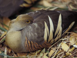 Plumed Whistling Duck with Beautiful Feather Markings  Resting  Australia