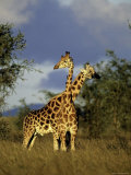 Two Rothschild Giraffes in Kidepo Valley National Park  Uganda