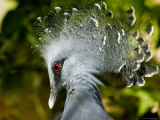 Victoria Crowned Pigeon Portrait