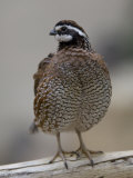 Northern Bobwhite Quail from the Toledo Zoo