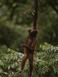 Orangutan Holding Onto a Tree Branch above It&#39;s Head