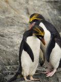 Macaroni Penguins Preening During Courtship