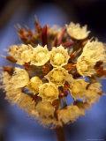 Shea Flower