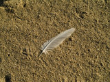 Lone Seagull Feather on a Beach  Block Island  Rhode Island