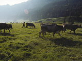 Switzerland  Appenzell  Cows Grazing in Field  Side View