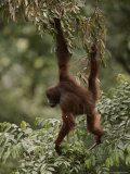 Orangutan Swinging from a Tree Branch