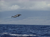 Pacific Spotted Dolphin Leaping into the Air  Hawaii