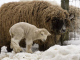Lamb and Sheep in the Snow  Massachusetts