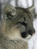 Portrait of a Mountain Lion