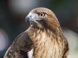 Recovering Captive Red-Tailed Hawk  California