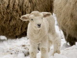 Lamb in the Snow  Massachusetts