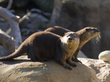 Pair of Asian Smalled-Clawed Otters  Santa Barbara  California
