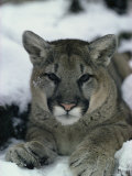Portrait of a Mountain Lion in the Snow