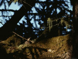 Marbled Murrelet Nesting in an Ancient Douglas Fir Tree  California