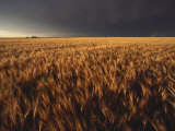 Summer Thunder Storm Approaches Wheat Field  Kansas
