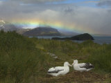 Rainbow and Wandering Albatross Nest Site  Prion Island  South Georgia