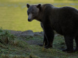 Solitary Brown Bear Along Salmon Stream  Alaska