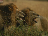 Pair of Snarling Male African Lions