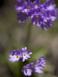 Macro Image of Purple Flowers in a Chinese Forest  Shennongjia  China