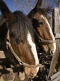 Pair of Clydesdale Horses  Pennsylvania