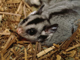 Sugar Giider Invades an Endangered Leadbeaters Possum's Nest Box  Australia