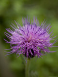 Macro Image of Purple Chinese Wildflower  Jingshan  China