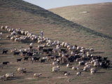 Sheep in the Judean Desert Outside Jerusalem  Israel