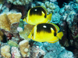 Two Fourspot Butterflyfish  Takapoto Atoll  French Polynesia