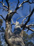The Knarled Branches of a Dead Stag Red River Gum Eucalypt Tree  Australia